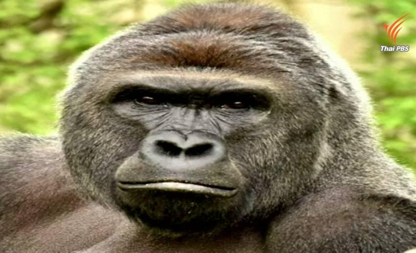 สวนสัตว์ซินซินเนติ แจงเหตุยิงกอริลลา หลังถูกวิพากษ์วิจารณ์อย่างหนัก