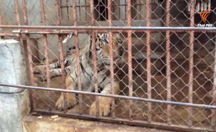กรมอุทยานฯเตรียมเข้าขนย้ายเสือวัดป่าหลวงตามหาบัวครั้งที่ 3 ขู่ไม่ร่วมมือโทษติดคุก-ปรับ