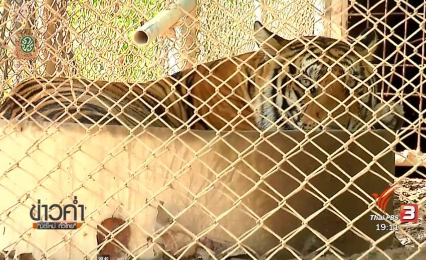 จนท.ปิดสถานีเพาะเลี้ยงสัตว์ป่า ห้ามเยี่ยม-ทำข่าวเสือของกลางจากวัดป่าหลวงตาบัว หลังเกิดอาการเครียด