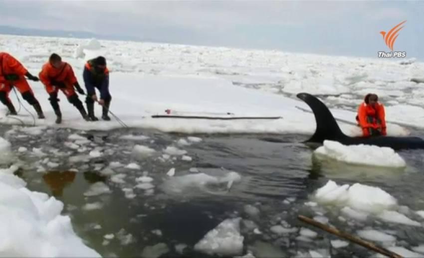 วาฬเพชฌฆาต ติดกลางทะเลน้ำแข็งในรัสเซีย