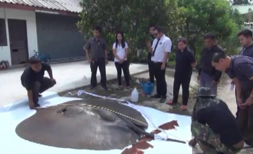 จนท.ตรวจสอบกระเบนขนาดใหญ่ตายริมป่าชายเลนชลบุรี