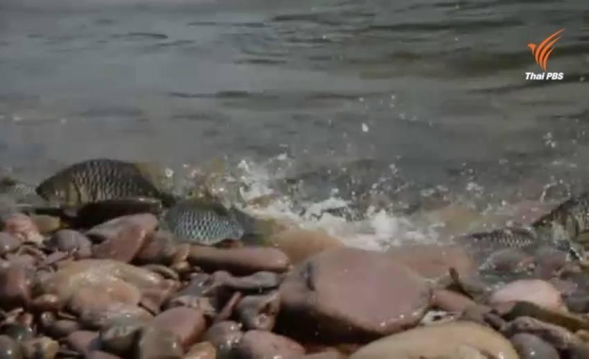 ฝูงปลาปีกแดง ว่ายทวนน้ำวางไข่นับหมื่นตัว