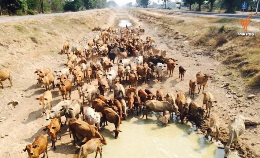 """วัวสุพรรณฯ ล่าน้ำก้นคลอง """"มะขามเฒ่า-อู่ทอง"""" หลายจว.นับถอยหลัง ไม่มีน้ำดิบผลิตประปาแล้ว"""