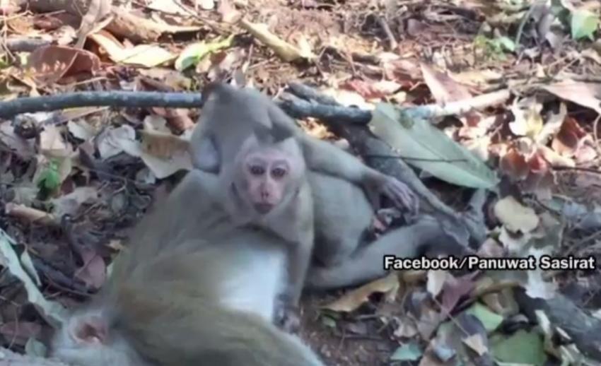จนท.อุทยานฯ เขาใหญ่ปล่อยลูกลิงกลับเข้าฝูง หลังแม่ถูกรถชนตาย