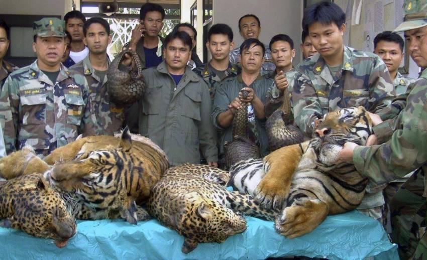 """เปิดโปงเส้นทางค้าสัตว์ป่าไทย-ลาว ทั้ง """"เสือ-นอแรด-งาช้าง-จระเข้-ลิง"""""""