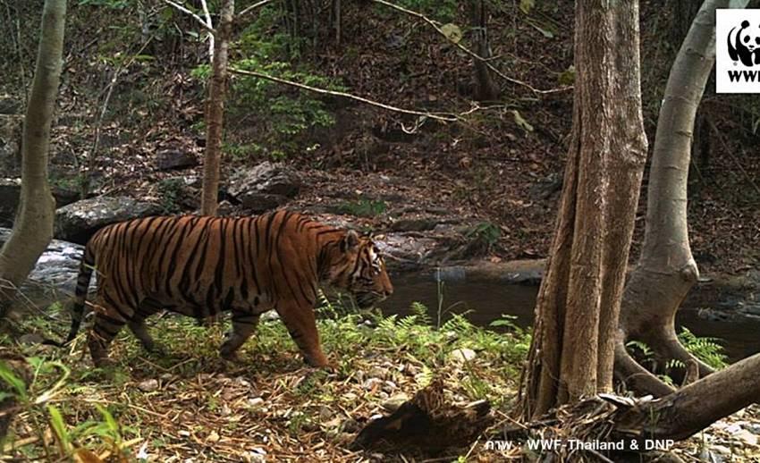 """""""วันอนุรักษ์เสือโคร่งโลก"""" กรมอุทยานฯ เดินหน้าเพิ่มประชากร-ปกป้องถิ่นอาศัย"""