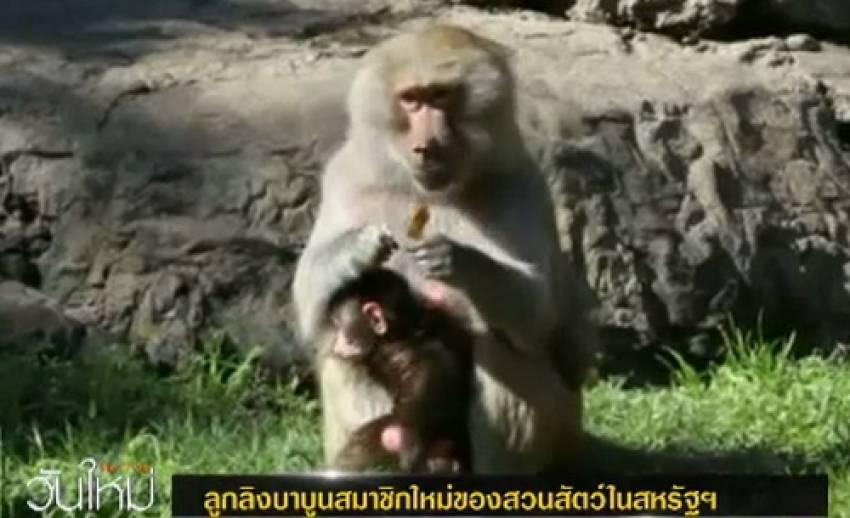 ลูกลิงบาบูนสมาชิกใหม่ของสวนสัตว์ในสหรัฐฯ