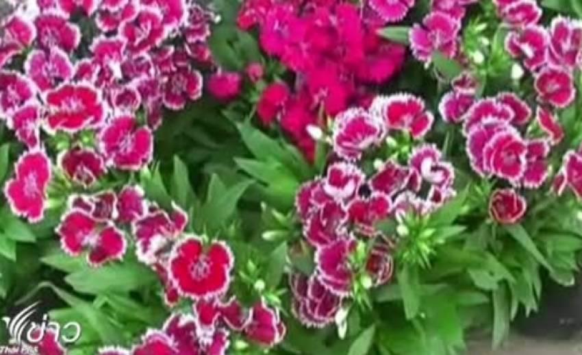 ไม้ดอกไม้ประดับเมืองหนาว เริ่มขายดี