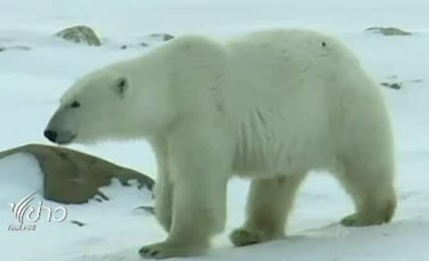 จำนวนประชากรหมีขั้วโลก ลดลงอย่างรวดเร็ว