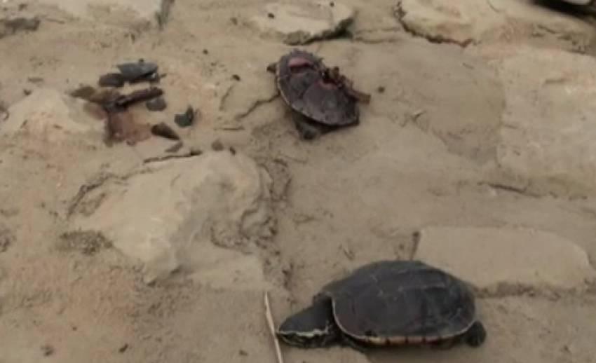 เต่าในแม่น้ำสะแกกรัง เกยตื้นตาย จำนวนมาก