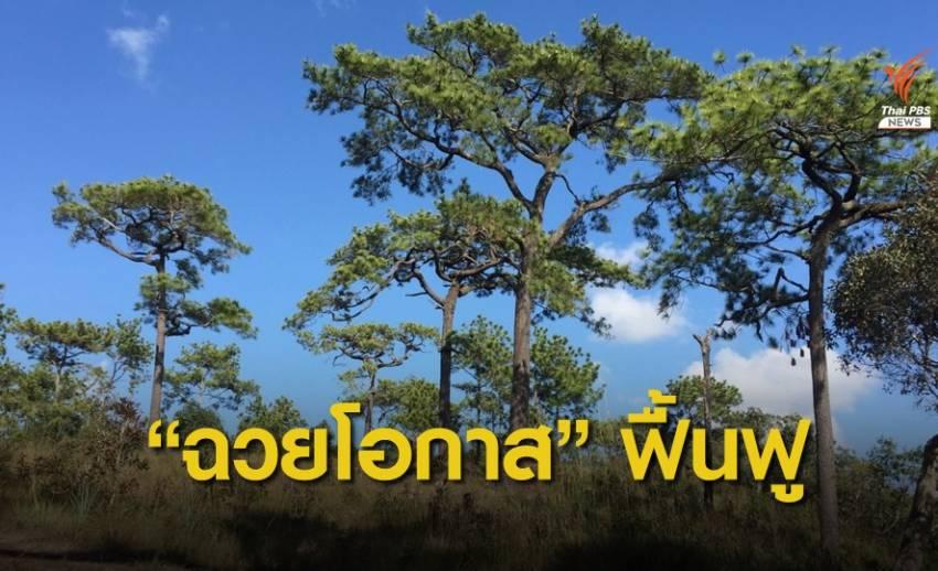 """""""ศศิน"""" ทวงคืนป่าสนธรรมชาติฟื้นฟูนิเวศภูกระดึง"""