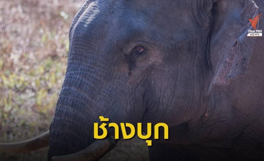 """""""ช้างป่าเขาใหญ่"""" ปี 62 หากินนอกเขต 600 ครั้ง"""