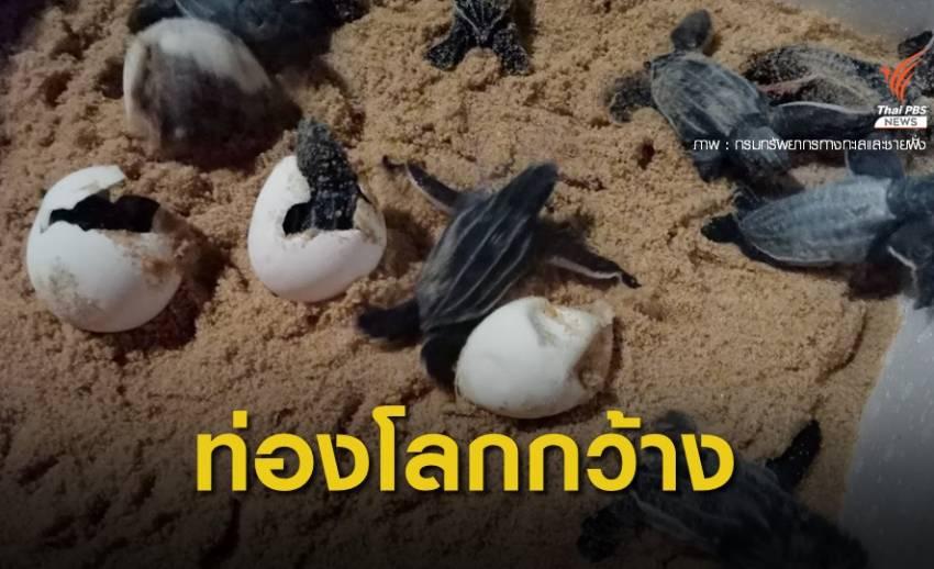 ลูกเต่ามะเฟืองรังที่ 2 ขึ้นจากลุ่มฟัก ลงทะแลแล้ว 49 ตัว