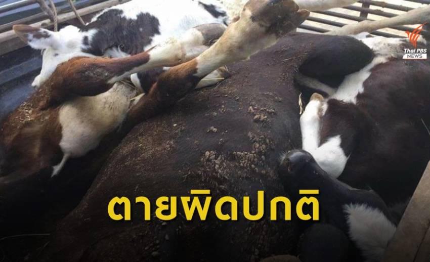 ร้องวัวตายผิดปกติกว่า 70 ตัว ป่วย 1,700 ตัว จ.สระบุรี