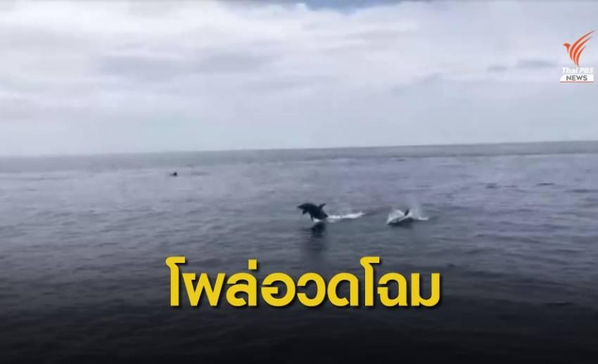 โลมา 30 ตัวว่ายน้ำอวดนักท่องเที่ยวทะเลพังงา
