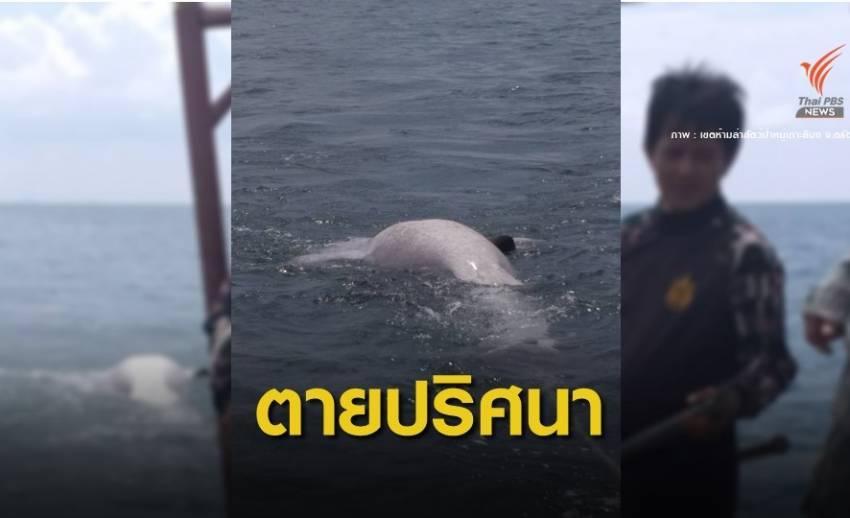 """ครั้งแรกในรอบ 8 ปี """"ฉลามวาฬ"""" ตายใกล้เกาะลิบง"""