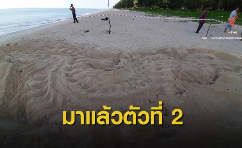 ข่าวดี! แม่เต่ามะเฟืองตัวที่ 2 วางไข่หาดบ่อดาน จ.พังงา
