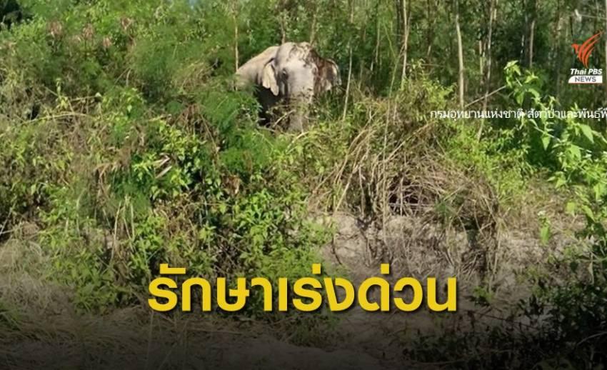 พบช้างป่าบาดเจ็บ คาดต่อสู้กัน  จ.นครราชสีมา