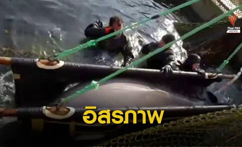 """รัสเซียช่วย """"วาฬเบลูกา"""" ถูกขัง 50 ตัวปล่อยคืนทะเล"""