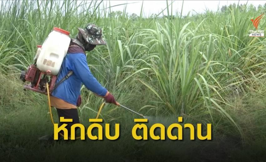 """""""หักดิบ"""" เกษตรกรเพราะไม่มีสารทดแทน ?"""