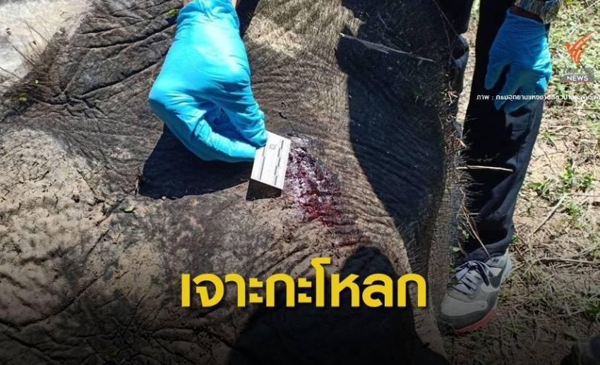 ยิงทะลุกะโหลก! ผลชันสูตรช้างแม่ลูกอ่อนตายคาสวนปาล์ม
