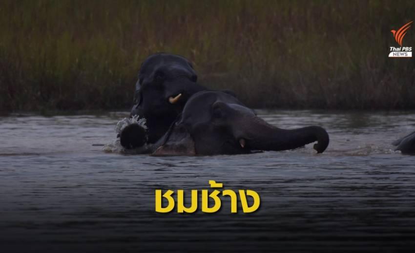 นักท่องเที่ยวแห่ชมช้างเขาใหญ่ลงเล่นน้ำรับลมหนาว