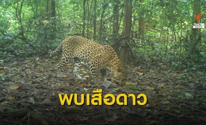 พบครอบครัวเสือดาวในป่าแก่งกระจาน