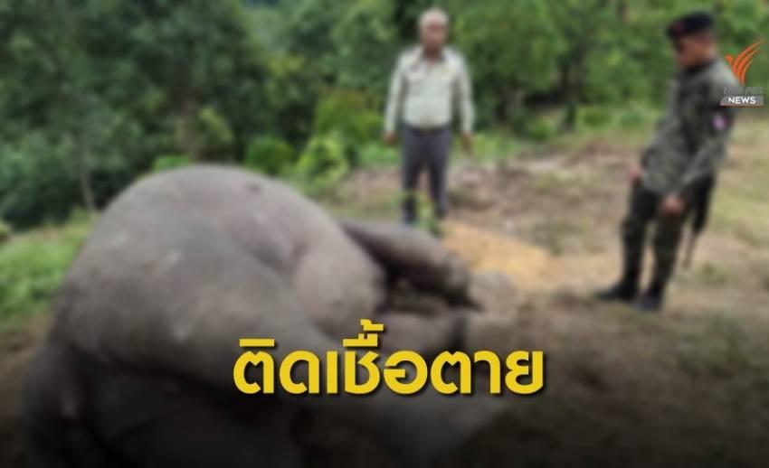 ช้างป่า ป่วยติดเชื้อตายคาสวนทุเรียนใกล้เขื่อนบางลาง
