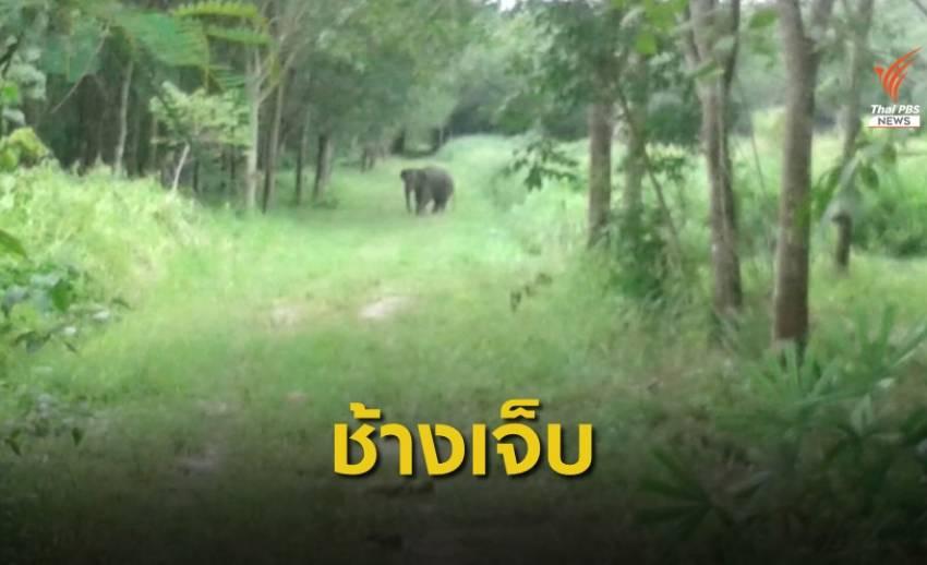 ติดตามช่วยช้างป่าเขาอ่างฤาไนบาดเจ็บจากขาติดบ่วง
