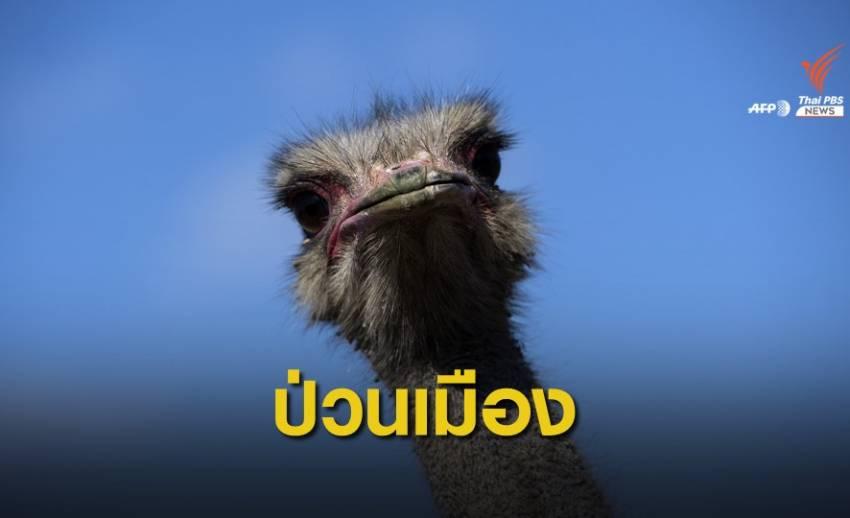 นกกระจอกเทศวิ่งเตลิดป่วนการจราจรในจีน