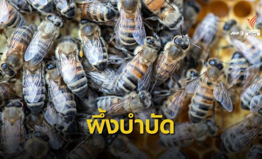 ผึ้งบำบัดอาการปวดในลิทัวเนีย