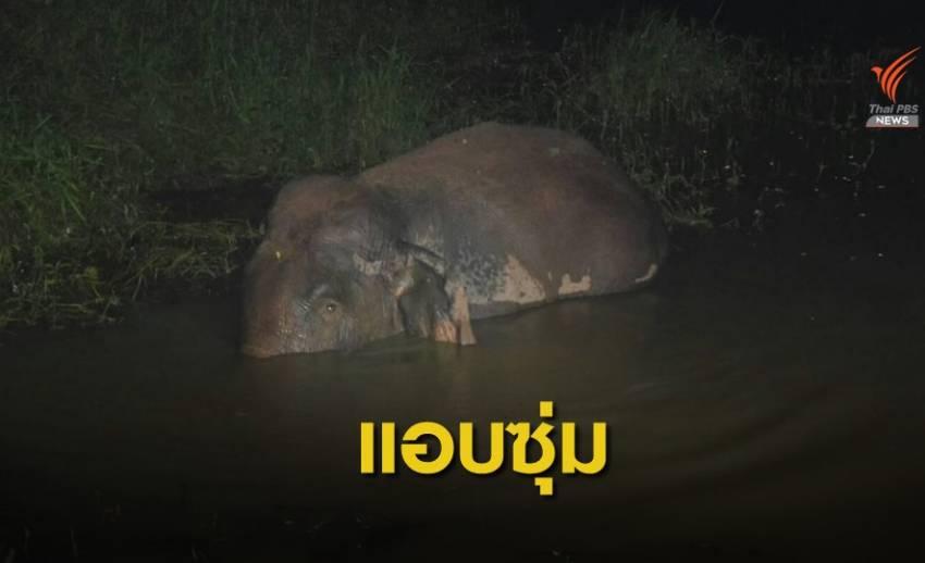 ช้างป่า แอบซุ่มลอยคอในน้ำ เตรียมบุกสวนผลไม้