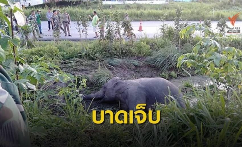 """เร่งช่วย """"แมงภู่"""" ช้างป่าเขาอ่างฤาไน ถูกรถชนบาดเจ็บหนัก"""