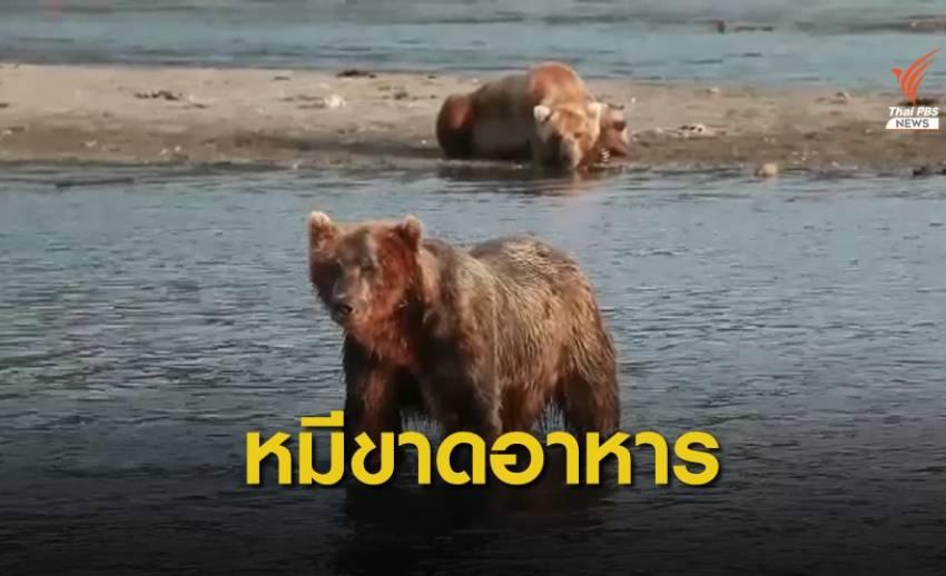 หมีในรัสเซียมีนิสัยดุร้ายเพราะขาดแคลนอาหาร