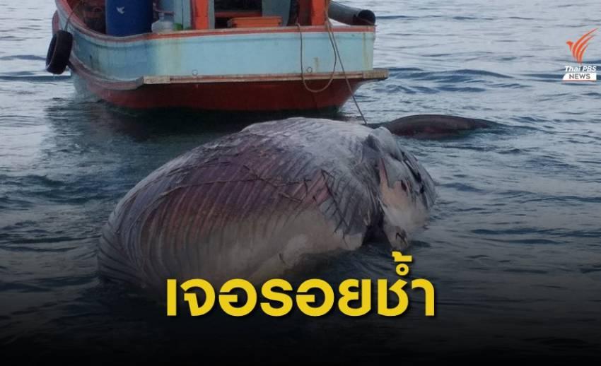 """ผ่าพิสูจน์ """"วาฬบรูด้า""""ทะเลสุราษฎร์ฯ เจอรอยช้ำบริเวณหัว-หาง"""