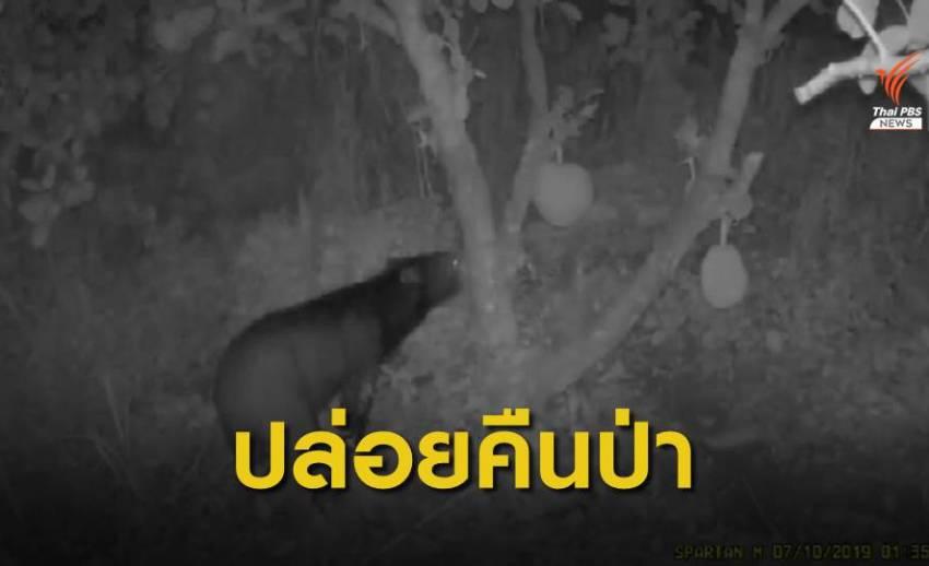หมีควายเข้ากินผลไม้ในสวนชาวบ้าน จ.ปราจีนบุรี - นำตัวปล่อยป่า
