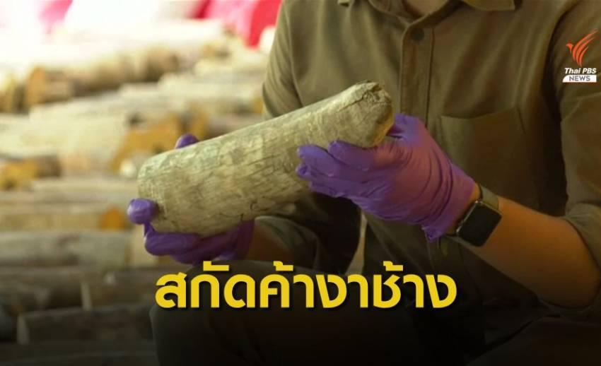 ล็อตใหญ่! สิงคโปร์ยึดงาช้างเกือบ 9 ตัน เกล็ดตัวนิ่มกว่า 10 ตัน