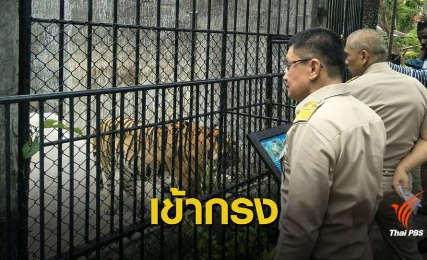 """สวนสัตว์ภูเก็ตอ้าง """"ล่ามโซ่เสือ"""" หวั่นทำร้ายนักท่องเที่ยว"""
