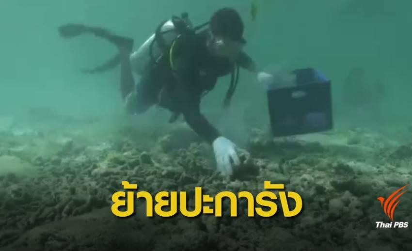 """ย้ายปะการังจากแหล่งอนุบาล """"อ่าวมาหยา"""" กว่า 23,000 ชิ้น"""