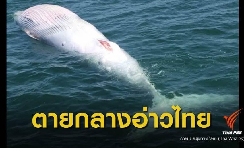 วาฬบรูด้า ตายกลางทะเลอ่าวไทย