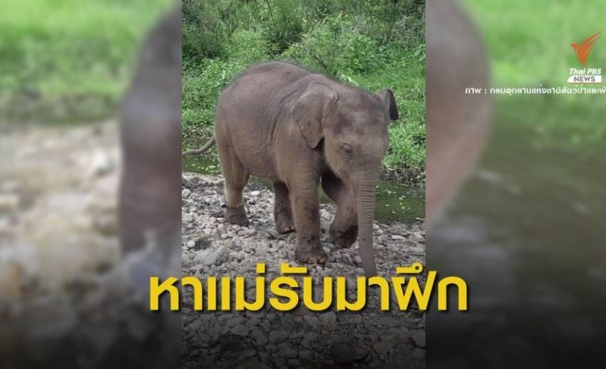 """เล็งใช้ """"แม่รับ"""" ช้างป่าดอยผาเมือง ฝึกลูกช้างห้วยขาแข้งหลงแม่"""