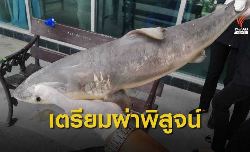 ลูกฉลามถูกอวนรัดตายเกยหาดบางแสน จ.ชลบุรี