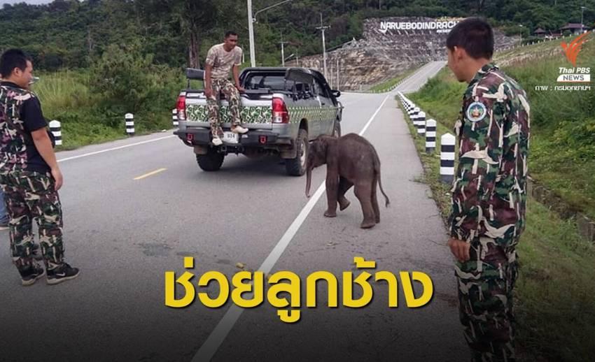 พบลูกช้างป่าหลงโขลงนอกเขตอุทยานฯ ทับลาน