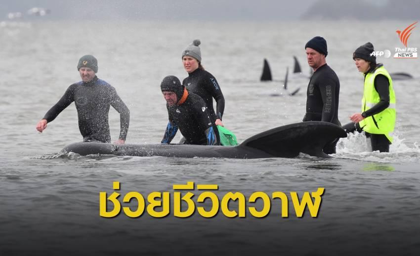 """เร่งช่วยฝูง """"วาฬ"""" เกยตื้นเกาะแทสมาเนีย พบตายแล้ว 90 ตัว"""