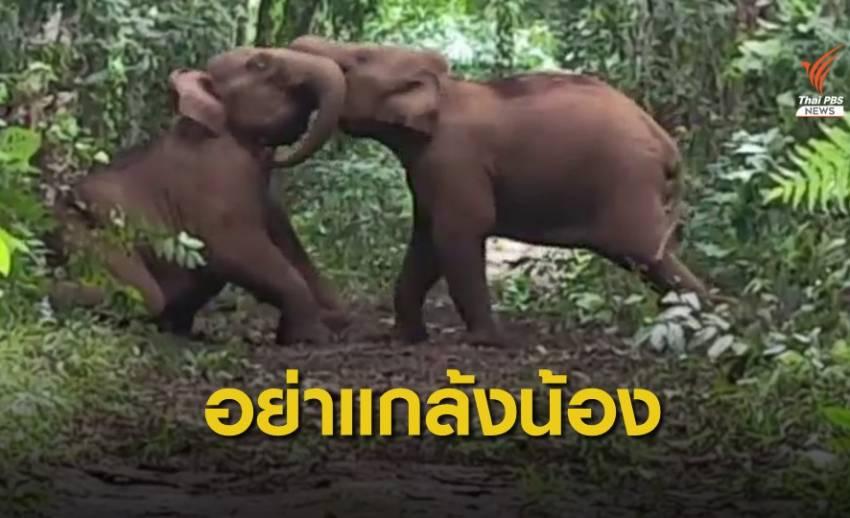 """ภาพน่ารัก """"ช้างป่า 2 ตัว"""" ใช้งวงฟาดกันกลางป่ากาญจนบุรี"""