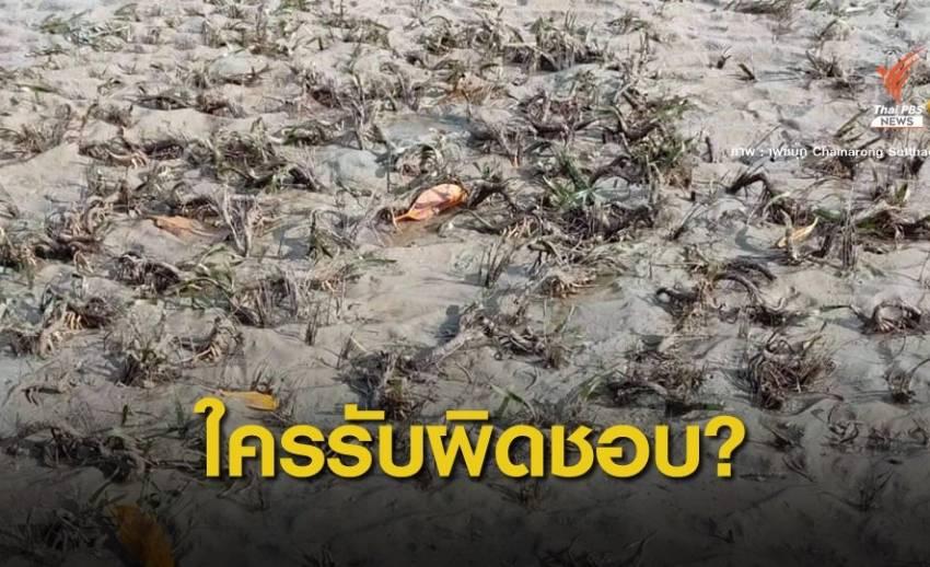 กังขา! ขุดลอกร่องน้ำอ่าวกันตังกระทบหญ้าทะเลตาย 1,000 ไร่