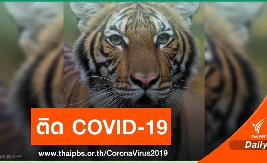 """""""นาเดีย"""" เสือในสวนสัตว์นิวยอร์ก ติดเชื้อ COVID-19"""