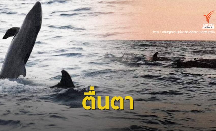 """ครั้งแรก """"วาฬเพชฌฆาตดำ"""" ฝูงใหญ่โผล่อวดโฉมหมู่เกาะลันตา"""