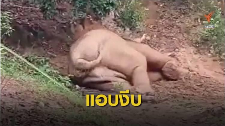 """น่ารัก! ภาพหายาก """"ช้างป่าเขาใหญ่"""" กินอิ่มนอนหลับสบายใจ"""
