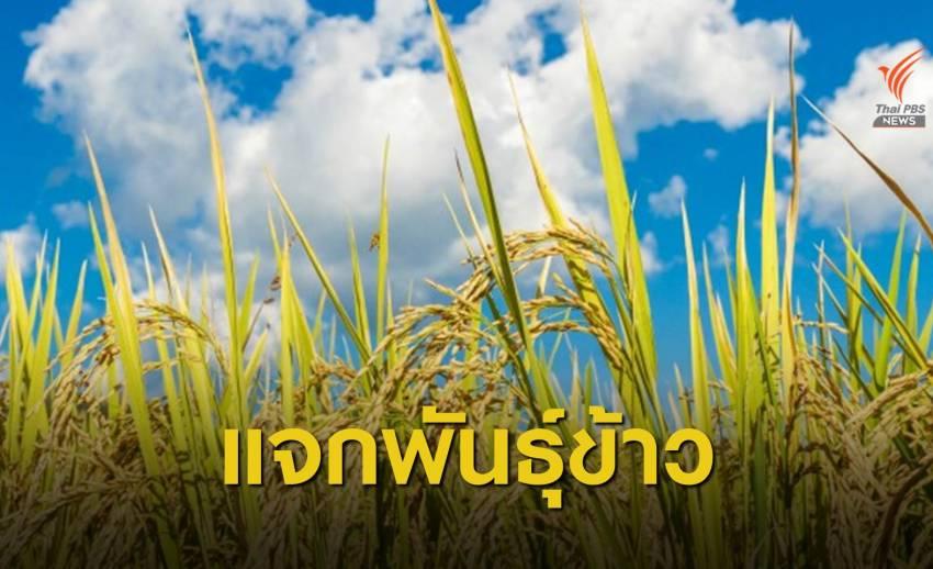 """""""กรมการข้าว"""" แจก 5 พันธุ์ข้าวพระราชทาน ให้เกษตรกรทั่วไทย"""